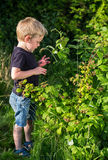 Little boy picking raspberries to eat Stock Photography