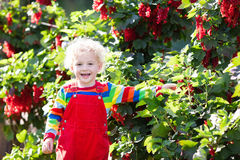 Little boy picking red currant berry Stock Photo
