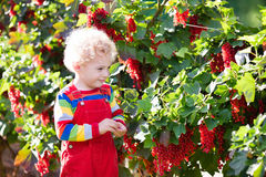 Little boy picking red currant berry Stock Images