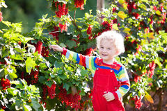 Little boy picking red currant berry Royalty Free Stock Photos