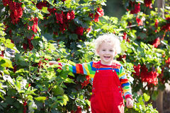 Little boy picking red currant berry Royalty Free Stock Images