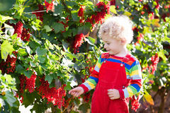 Little boy picking red currant berry Stock Photography