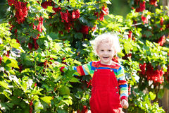Little boy picking red currant berry Stock Photos
