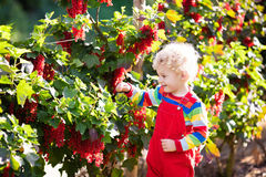 Little boy picking red currant berry Royalty Free Stock Photography