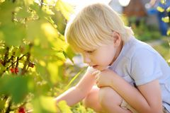 Little boy picking red currants in a domestic garden on sunny day. Outdoors activities and fun for children in summer. Mommy& x27;s helper stock images