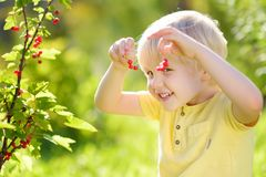 Little boy picking red currants in a domestic garden on sunny day. Outdoors activities and fun for children in summer. Mommy`s helper royalty free stock photos