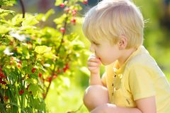 Little boy picking red currants in a domestic garden on sunny day. Outdoors activities and fun for children in summer. Mommy`s helper royalty free stock images