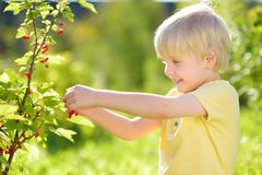 Little boy picking red currants in a domestic garden on sunny day. Outdoors activities and fun for children in summer. Mommy`s helper royalty free stock image
