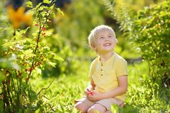 Little boy picking red currants in a domestic garden on sunny day. Outdoors activities and fun for children in summer. Mommy`s helper stock photos