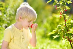 Little boy picking red currants in a domestic garden on sunny day. Outdoors activities and fun for children in summer. Mommy`s helper stock photo