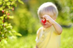 Little boy picking red currants in a domestic garden on sunny day. Outdoors activities and fun for children in summer. Mommy`s helper stock image