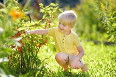 Little boy picking red currants in a domestic garden on sunny day. Outdoors activities and fun for children in summer stock photos