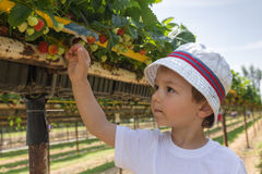 Little boy picking strawberries Stock Photo