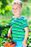 Little boy picking strawberries. Little happy boy picking strawberries in the garden Royalty Free Stock Photography