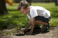 Little boy planting. A sprout royalty free stock photo