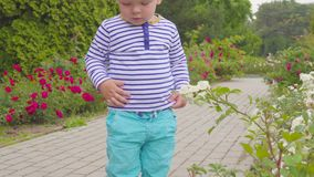 Little boy playes with roses near the rose bush. 4k. Little boy near the rose bush stock footage
