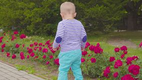 Little boy playes with roses near the rose bush. 4k. Little boy near the rose bush stock video
