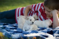 Little boy playing with cute tan puppies. A boy playing with cute little tan puppies on a blue and white checkered blanket in the grass on a fall day royalty free stock photo