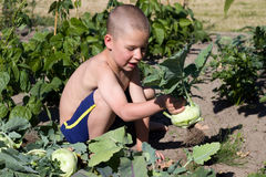 Little boy reaping turnip greens Royalty Free Stock Images