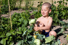 Little boy is reaping turnips Royalty Free Stock Photography