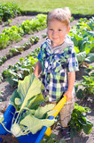 Little boy reaps turnip greens Stock Images