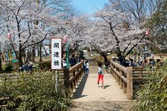 A little boy running on a bridge across a stream and beautiful cherry blossom trees blooming in a park in Saitama, Japan. ~ Hanami admiring Sakura blossoms is a royalty free stock photo