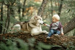 Little boy sits on tree trunk next to lying dog malamute and fee. Little boy sits on fallen tree trunk in forest next to lying dog malamute and feeds him by food Royalty Free Stock Images