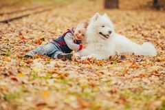 Little boy sits next to samoyed dog and plays with him in autumn stock photography