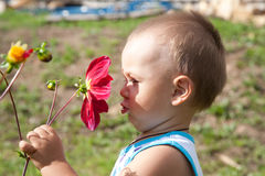 Little boy smells flower of a dahlia Stock Image