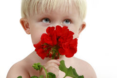 Little boy smells a red flower Royalty Free Stock Photos