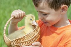 Little boy with spring duckling. Poultry in the hands of the child royalty free stock images