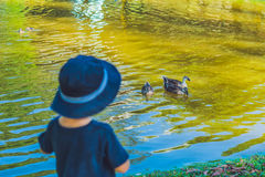The little boy standing on the bank of the lake and looking at floating ducks.  stock image