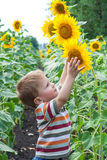 Little boy with sunflower Stock Photos