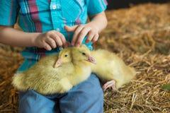 A little boy touches a little goslings in farm Stock Photo