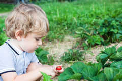 Little boy two years on strawberry farm Royalty Free Stock Image