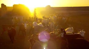Little Boy, welches die Ziegen-Dämmerung bewirtschaftet Konzept in Herden lebt Stockfotografie