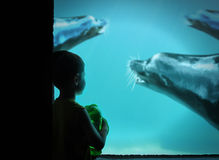 Little Boy at Zoo with Sea Lions in Water Stock Photos