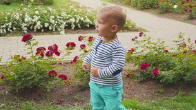 Little boyis playes with roses near the rose bush. Little boy near the rose bush stock video footage