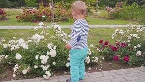 Little boyis playes with roses near the rose bush. slow motion. Little boy near the rose bush stock video footage