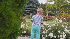 Little boyis playes with roses near the rose bush. slow motion. Little boy near the rose bush stock video