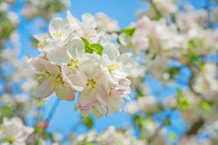 Little branch of blossoming apple tree on background of blurred Stock Images