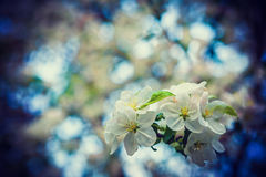 Little branch of blossoming cherry tree on blurred Stock Image