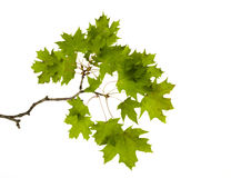 Little branch of maple Royalty Free Stock Image