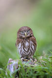 Little brazilian owl Royalty Free Stock Photos