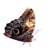 Little bright butterfly  brown and black Royalty Free Stock Photo