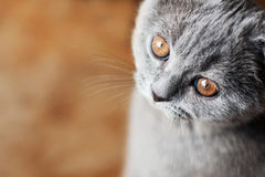 Little british cat with orange eyes Stock Photos