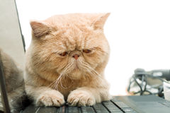 Little British CPA garfield cat sitting on laptop. On white Stock Photography