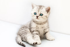 Little british domestic silver tabby cat Stock Photography