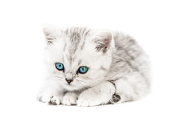 Little british domestic silver tabby cat Stock Photo