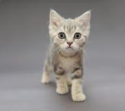 Little British gray kitten with big eyes Stock Photo